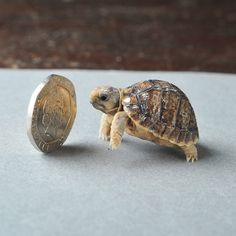 This Egyptian tortoise is very small | This Year's 45 Most Lovable Baby Animal Pictures : His species is critically endangered, so his birth is something extra-special to celebrate