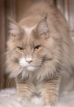 BEAUTIFUL COLORING -MAINE COON cream smoke and white