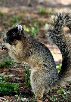 Fox Squirrel Mutant