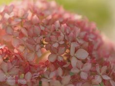 hydrangea (Tadashi Yamaura / Okazaki / Japan) #E-M5 MarkII #macro #photo #insect #nature