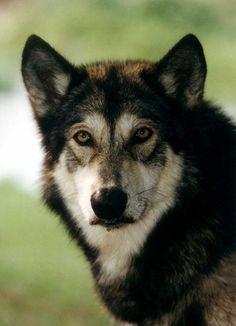 wolf dog hybrid photo | Purebred Breeders Wolf-dog-hybrid