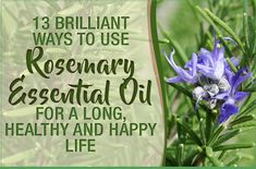 When most people think of rosemary, their minds immediately go to their favorite Mediterranean dishes that make use of the icious herb. However, many would be surprised to find out that when turned into an essential oil, rosemary can actually cure a variety of health issues. In fact, rosemary essential oil has been around for …