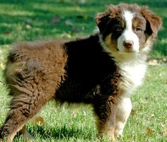 Australian Shepherd. They change so much from puppies to adults
