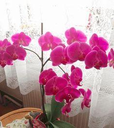 Nechte působit 20-30 minut, poté nechte dobře okapat a papírovým ubrouskem osušte vodu mezi listy a v takzvaném srdíčku (část květiny mezi listy a stonkem) – jinak by květina mohla díky nahromaděné vodě začít hnít a plesnivět. To je vše, s tímto postupem se nemusíte nikdy obávat, že vám orchidej uschne, listy začnou žloutnout nebo … Dozen Roses, Glass Terrarium, Indoor Plants, House Plants, Garden Design, Flora, Succulents, Planters, Home And Garden