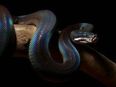The White Lipped Python