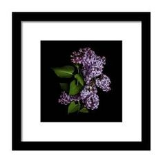 Lilac Isolated On Black Background Framed Print by Sankai Black Wood, Hanging Wire, Clear Acrylic, Black Backgrounds, Fine Art America, Lilac, Design Inspiration, Framed Prints, Artwork