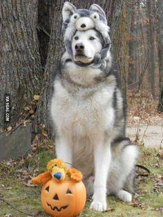Tonka the Alaskan Malamute dressed for Halloween as a Siberian Husky.