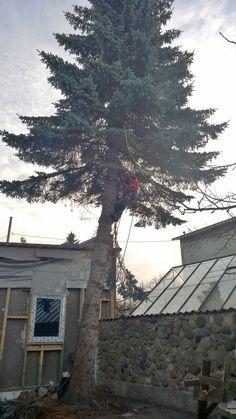 Ohtlike puude langetamine (kuuse sanitaarraie) vt lisaks http://www.puumehed.ee/