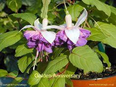 Fuchsia Golden Anniversary, Trailing