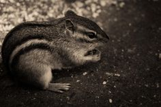 ⭐ chipmunk animals black and white - download photo at Avopix.com for free    🆕 https://avopix.com/photo/24784-chipmunk-animals-black-and-white    #squirrel #chipmunk #animals #rodent #mammal #avopix #free #photos #public #domain