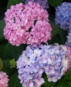 Hydrangea flowers for wedding LOVE IT! Fondant Flowers, Sugar Flowers, Love Flowers, Beautiful Flowers, Wedding Flowers, Hortensia Hydrangea, Hydrangea Flower, Growing Hydrangea, Pruning Hydrangeas