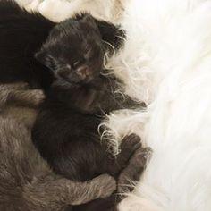 #newlyborn #justborn #thiny #baby #babycat #blackhair #black #tinypaws #silk #kitten Black Kittens, Baby Cats, Black Hair, Silk, Photo And Video, Cute, Animals, Instagram, Hair Black Hair