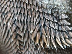 Bearded Dragon chin scales