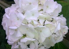 Hydrangea macrophylla 'Madame Emile Mouillère' -  AGM Family Hydrangeaceae Originating from China and Japan  Medium-sized deciduous shrub with coarsely-toothed, oval, dark green leaves and large rounded, white mophead blooms in summer.