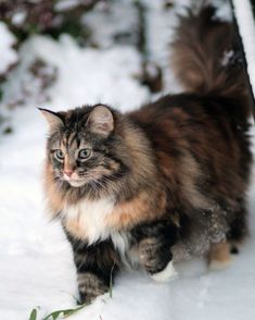 Love this Maine Coon kitty taking a walk in the snow.