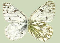 *Vuorisinappiperhonen -P.Pakkanen: Leptidea, Anthocharis, Aporia, Pieris, Pontia in Finland