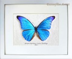 Morpho Rethenor Cacica Real Rare Butterfly From Peru In Shadowbox by ButterfliesArtist on Etsy