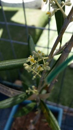 Olive tree first flowers