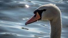 Cisne en Cecebre