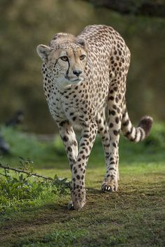 Cheetah | Flickr – Compartilhamento de fotos!... so Gracious!