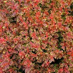 Berberis thunbergii 'Goruzam'(GOLDEN RUBY™ BARBERRY) deep crimson red w/gold border 2'height x 2'wide (back row on side of house w/topiaries)