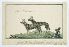 Robert Jacob Gordon   Twee Kaapse wilde honden (lycaon pictus), Robert Jacob Gordon, 1777 - 1788  