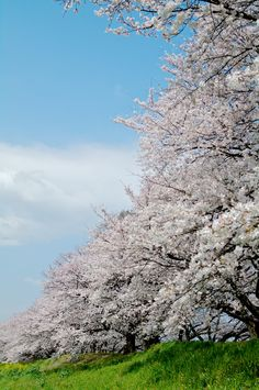 Cherry blossoms at  Sewaritei Bank, Yawata, Kyoto, Japan