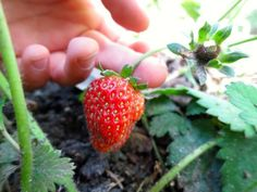 Strawberries growing in a front yard plot, from How to Know What to Grow in Your Garden @ Frugal-Mama.com
