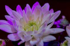 Purple daisy  Macro photo by sebdamore http://rarme.com/?F9gZi