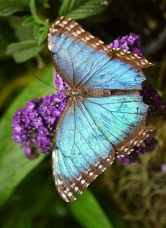 beautiful colors / turquoise and purple #butterfly