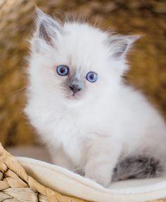 Mormor Magdas 6 weeks #minimazarinerna2017 #birma #birman #breeder #catsofinstagram #chokladochvanilj #kitten #pinkalicious #topcatphoto #happycatclub #welovecats #we_love_cats #excellent_cats #excellent_kittens #bestcats_oftheworld #birman_cats_lovers #birman_feature #birmancat #birmavanner