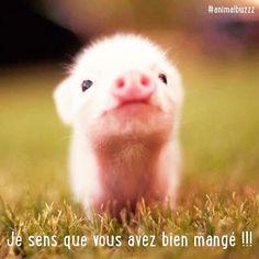 Le ventre plein ? #animalbuzzz #cochon #cute #animalcute