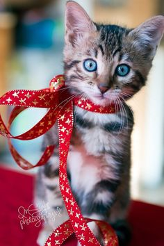 Red Ribbon Kitten ready for Christmas :)