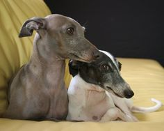 Italian greyhounds cathlange