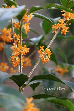 Fragrant Olive,   Osmanthus