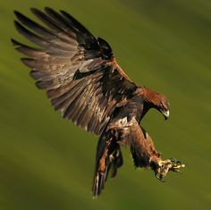 GOLDEN EAGLE landing by Ronald Coulter on 500px