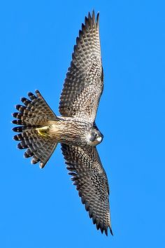 A peregrine from the mews of Castel Baloron ______________________________ Peregrine Falcon