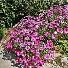 Resultado de imagen para dimorfoteca planta wikipedia