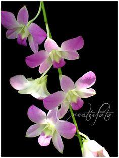 Kristen Olivares-Fine Art Photography-Orchid