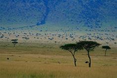 Crecen también en la sabana palmeras comunes, y en las comarcas más secas acacias de diverso tamaño y tipo. Son tres las acacias más importantes: acacia arábica, acacia Senegal y acacia catechu;