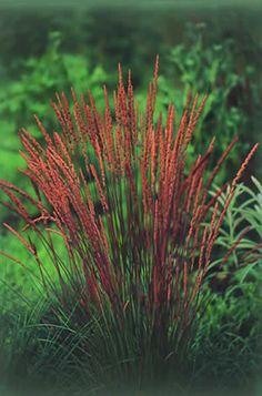 Ometlina    Koeleria  K.macrantha Aj v zime majú steblá tejto okrasnej trávy modro - zelenú farbu. Od júna do júla sa objavia na rastline kvety. Sadí sa do odvápnenej, piesčito - kamenistej pôdy, ktorá nie je bohatá na živiny. Darí sa mu na slnečnom stanovišti. Partnerom mu môžu byť klinčeky, tymián, rozchodník (Sedum) alebo vres (Erica). Dorastá do výšky 40 cm.