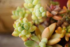 自慢の多肉植物コンテストの画像 by mayunoさん|多肉植物と多肉寄せ植えコンテスト (2015月8月10日)|みどりでつながるGreenSnap