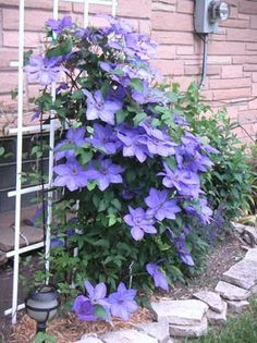 Clematis need regular feeding to thrive