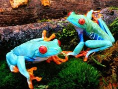 Turquoise frogs ~