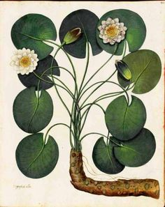 Water lily, bothanical ilustration