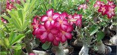 desert rose plant colors - Google Search