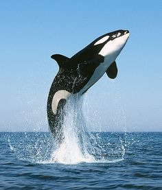Killer whale named Mel