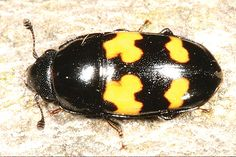 Sap beetle ... Sap beetle Col-nitidulidae.png Scientific classification e Kingdom:Animalia Phylum:Arthropoda Class:Insecta Order:Coleoptera Superfamily:Cucujoidea Family:Nitidulidae Latreille, 1802 The sap beetles are a family (Nitidulidae) of beetles.  They are small (2–6 mm) ovoid, usually dull-coloured beetles, with knobbed antennae. Some have red or yellow spots or bands. They feed mainly on decaying vegetable matter, over-ripe fruit, and sap. There are a few pest species.