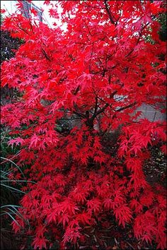 Today we are going to explore the characteristics and benefits of the beautiful Red Japanese Maple tree. Red Japanese Maples are very elegant plants for any residential or commercial property. Unique Trees, Small Trees, Garden Trees, Garden Plants, Red Plants, Trees And Shrubs, Trees To Plant, Japanese Maple Varieties, Acer Trees