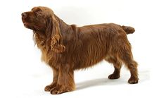 A Sussex Spaniel named Stump is the oldest dog to ever win the famous Westminster Kennel Club dog show. Spaniel Breeds, Spaniel Dog, Spaniels, Dog Friendly Apartments, Fear Of Dogs, Best Apartment Dogs, Sussex Spaniel, Dog Show, Shepherd Dog